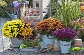 Chrysanthemum 'Kiyellow', 'Kipli', 'Kiroul', 'Kilo'