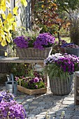 Baskets with Aster dumosus 'Beryl' 'Purple Diamond' 'Rose Quartz'