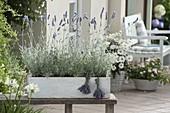 Wooly Lavender, Silver Leaf Lavender (Lavandula lanata)