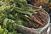 Freshly harvested carrots, carrots (Daucus carota) in wire basket