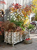 Betula box planted with rhododendron