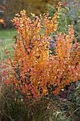 Berberis thunbergii (Barberry) in autumn coloration