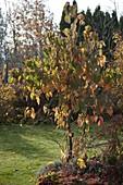 Davidia involucrata in autumn coloring