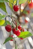 Lycium barbarum (goji berry, wolfberry)