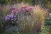 Chrysanthemum koreanum 'Corinna', 'Hebe' (autumn chrysanthemum)