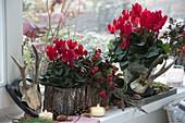 Cyclamen (Cyclamen) and Gaultheria procumbens (Wild Berry)
