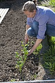 Woman planting celery (Apium) in the vegetable bed