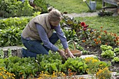 Woman is harvesting endive salad, Tagetes