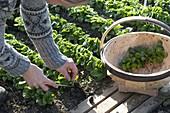 Woman harvesting corn salad (Valerianella locusta)