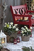 Winter terrace with Helleborus and Erica carnea