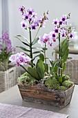 Dendrobium 'Polar Fire', Phalaenopsis 'Antwerp' (Orchid)