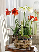 Hippeastrum and Chamaecyparis thyoides 'Top Point'