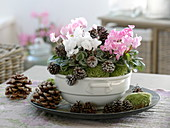 Cyclamen persicum (cyclamen) in soup tureen
