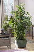 Ficus longifolia 'Amstel King' (Zimmerfeige, Gummibaum)