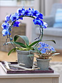 Phalaenopsis 'Royal' (Malay flower, butterfly orchid)