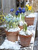 Iris reticulata 'Harmony', 'Katherine Hodgkin'