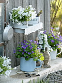 Campanula portenschlagiana 'Get Me' blue and white, medium 'Crown Princess'