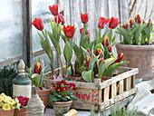 Tulipa 'Showwinner' 'Flair' in Chipbox, Primula acaulis