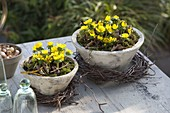 Eranthis hyemalis in conical bowls, betula wreaths