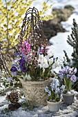 Salix caprea 'Kilmarnock' planted in pots with Crocus