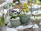 Viola cornuta Penny 'Mickey', Eranthis, Crocus