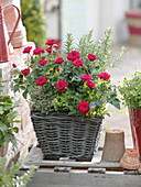 Basket planted with Rose, lemon thyme