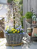 Basket planted with Salix caprea 'Kilmarnock' and Viola