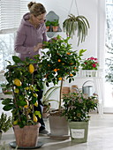Conservatory with Citrus limon on the trellis, Citrofortunella