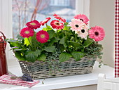 Basket with gerbera and pilea (gunner's flower) at the window