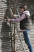 Woman cuts pear trellis on house wall