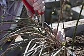 Woman cutting faded Jasminum nudiflorum (winter jasmine)