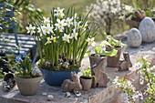 Narcissus 'White Tete' in enamel bowl, Scilla