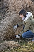 Woman cuts back pennisetum (chinese pennisetum) in March