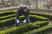 Man cutting Huxian hedge with electric hedge trimmer