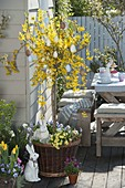 Forsythia 'Weekend' grown as stems