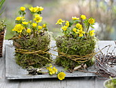 Eranthis hyemalis (winter aconite), pots with moss