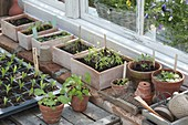 Vegetables seedlings in seeding bowls and pots at the greenhouse window
