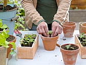 Sow tomatoes, prepare soil and pot