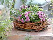 Primula 'Romance', savory and sage