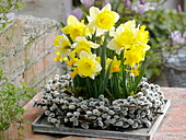 Narcissus 'Holland Sensation', 'Jetfire' in wreath from Salix