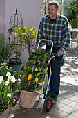 Man moving citrus limon out of winter quarters with a handcart