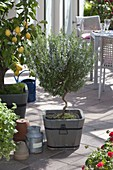 Rosemary with twisted stem in wooden tub, citrus limon