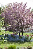 Malus 'Paul Hauber' (ornamental apple) tree, tree slice with myosotis