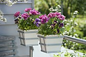 Hanging pots on the balcony railing with Tulipa 'Lilac Star' and Viola