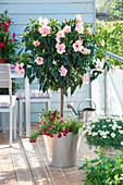 Hibiscus rosa-sinensis stems planted with Calibrachoa