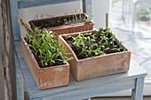 Sämlinge von Calendula officinalis (Ringelblumen) in Terracotta-Kästen