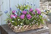 Wicker basket with Tulipa 'Lilac Star', Muscari 'Ocean Magic'