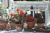 Small cactus house with Echinocereus scheeri, Rebutia