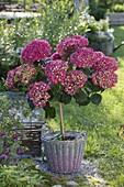 Hydrangea macrophylla 'Amsterdam' in basket