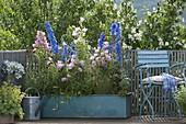Campanula medium (Marian bellflower), Delphinium elatum
